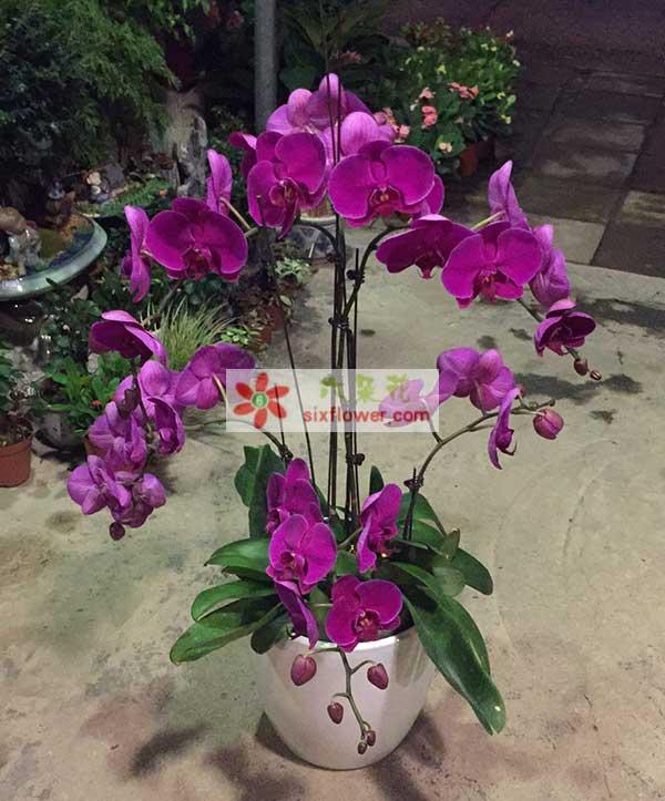 花卉市场临时装盆的蝴蝶兰