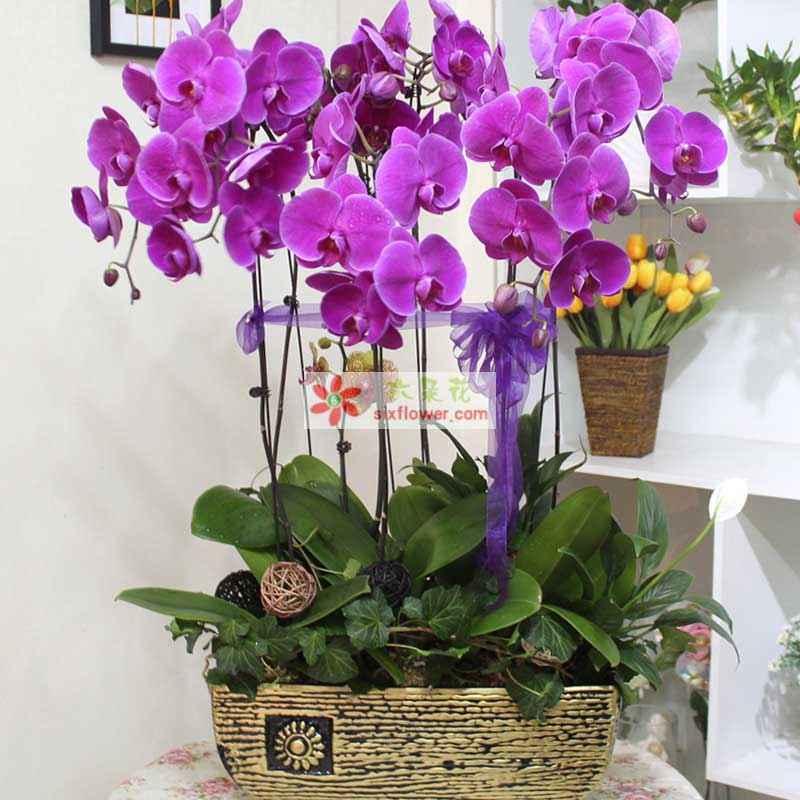 8株优质紫蝴蝶兰,高度大约80CM,直接约40cm;