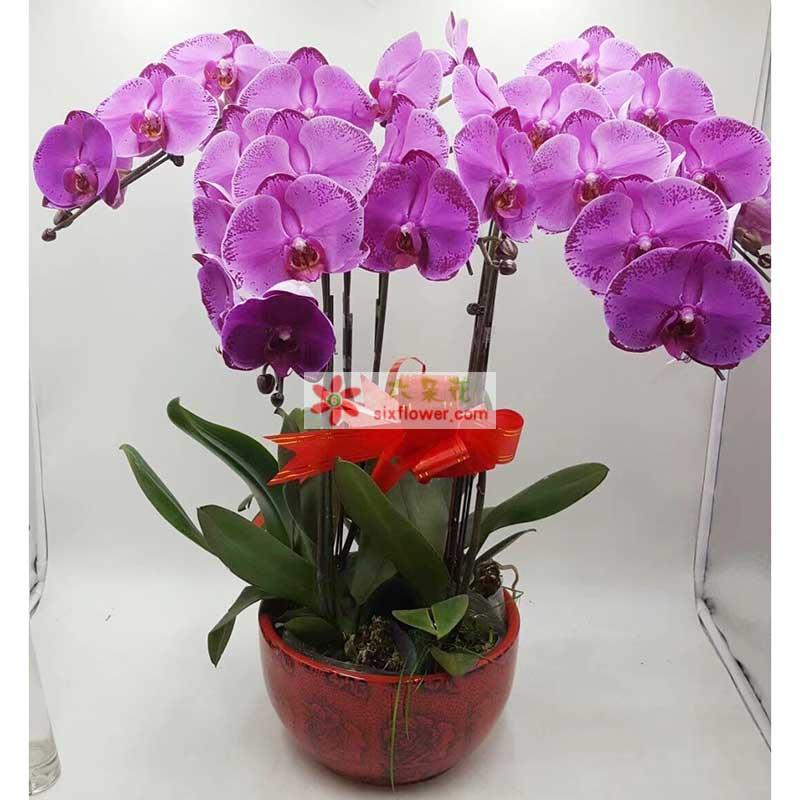 6株紫色蝴蝶兰,红色蝴蝶结;