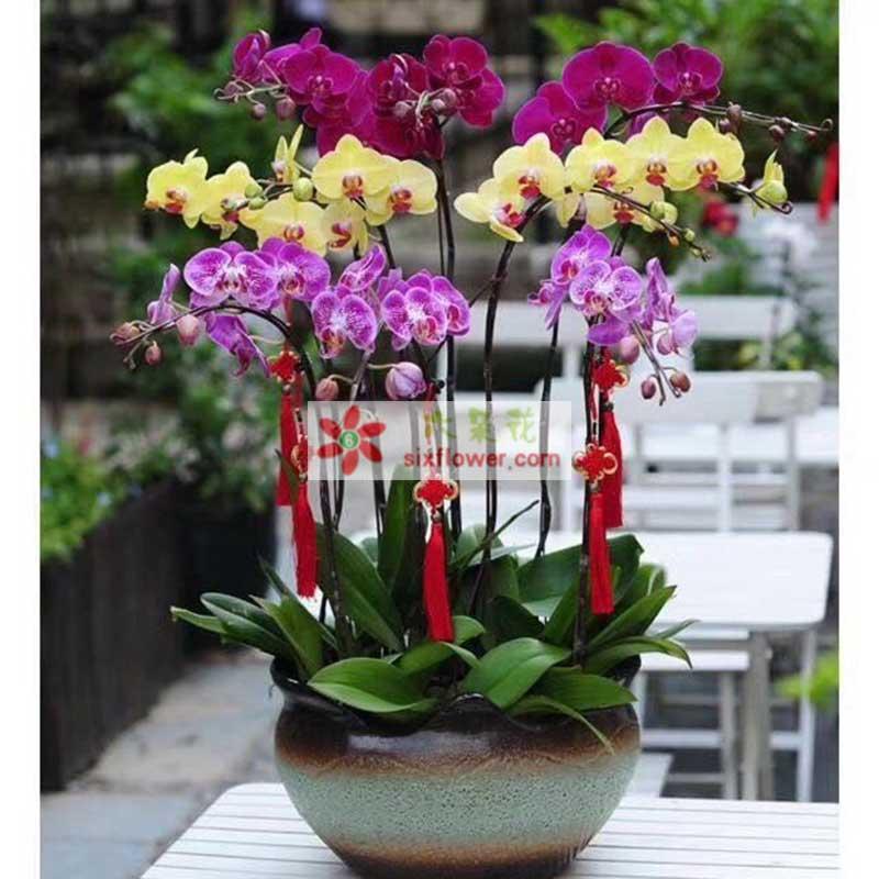 12株蝴蝶兰(紫色、红色、黄色);