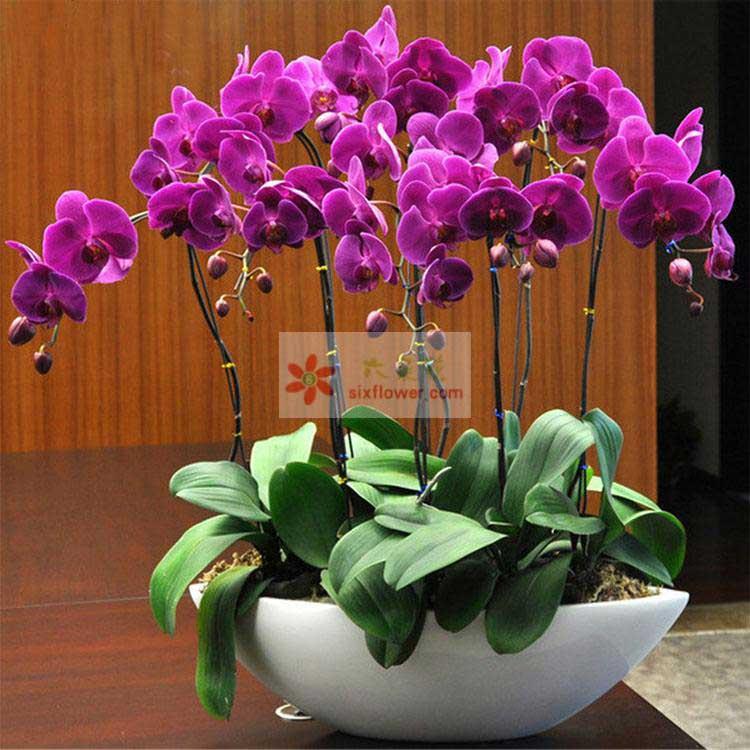 6株紫色蝴蝶兰