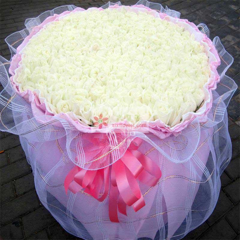 520朵白玫瑰