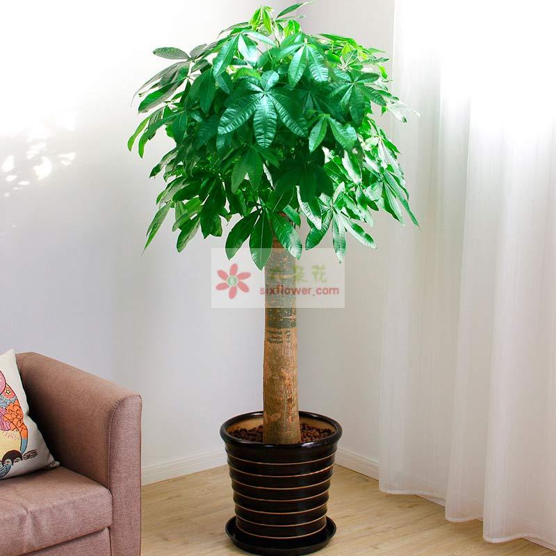 单杆发财树