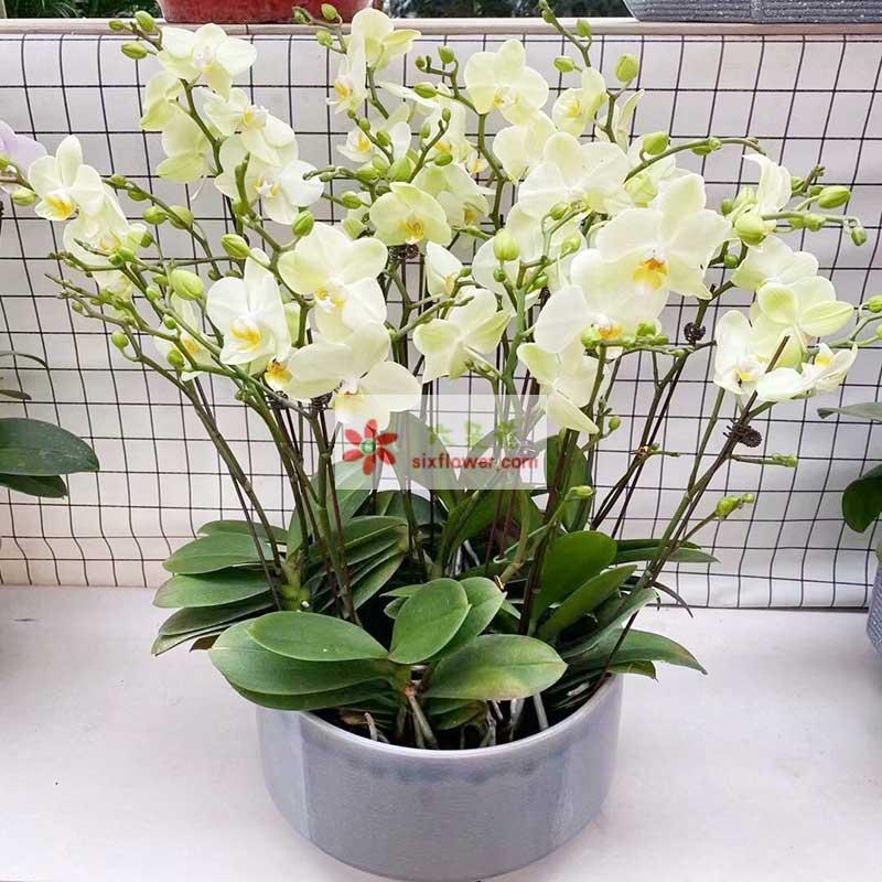 8株白色蝴蝶兰,祝愿家团圆