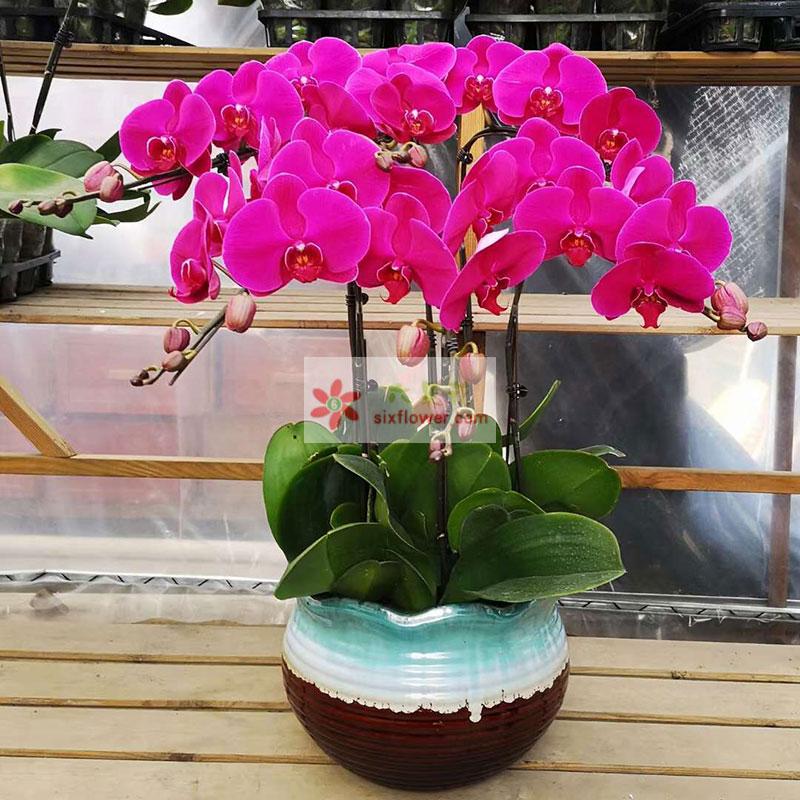 5株红色蝴蝶兰,祝你节日快乐