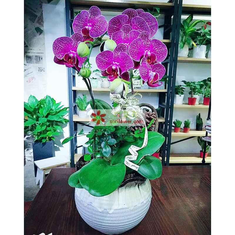 4株紫色蝴蝶兰,配草搭配